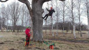 Arboristi veic vainaga kopšanu