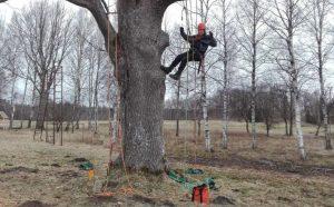 Bistamu koku vainagu kopšana